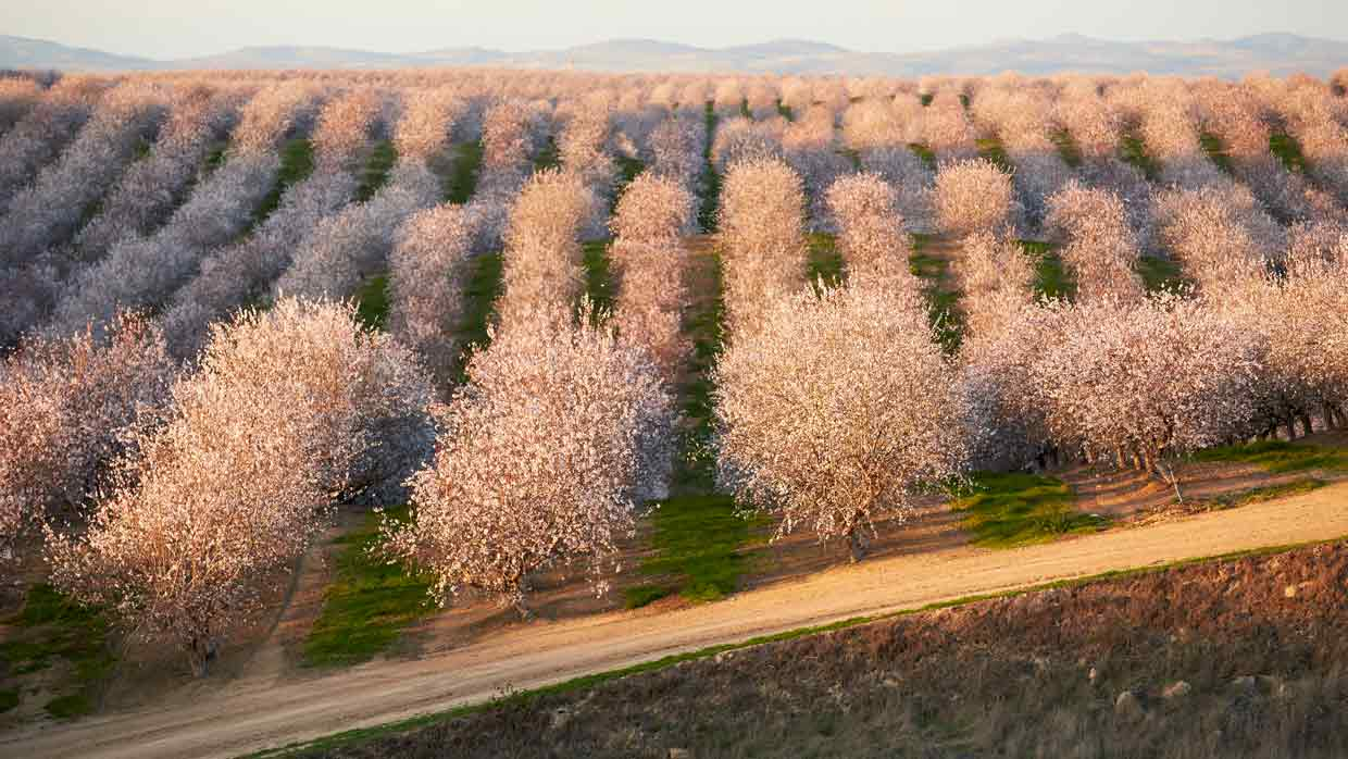 California Almonds Lifecycle I Ideal Mediterranean Climate