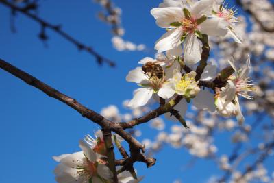 almond branch in bloom