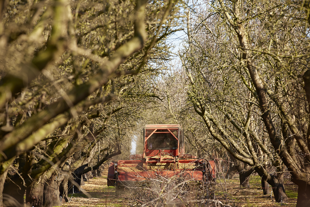 Chipping almond prunings