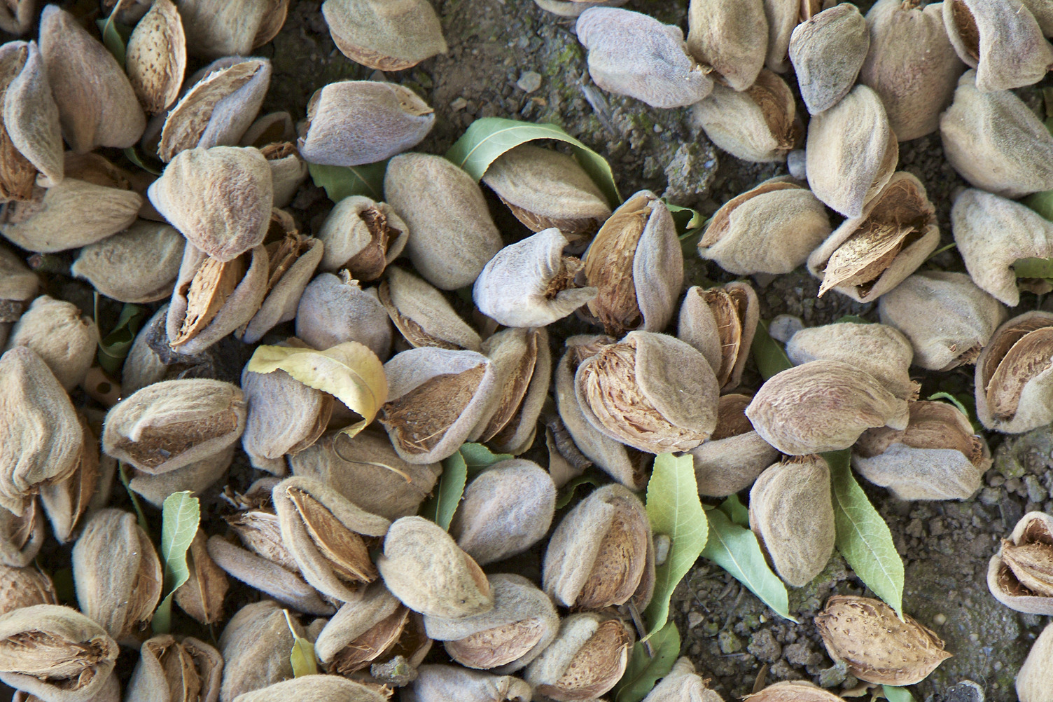 Almonds in shell on ground