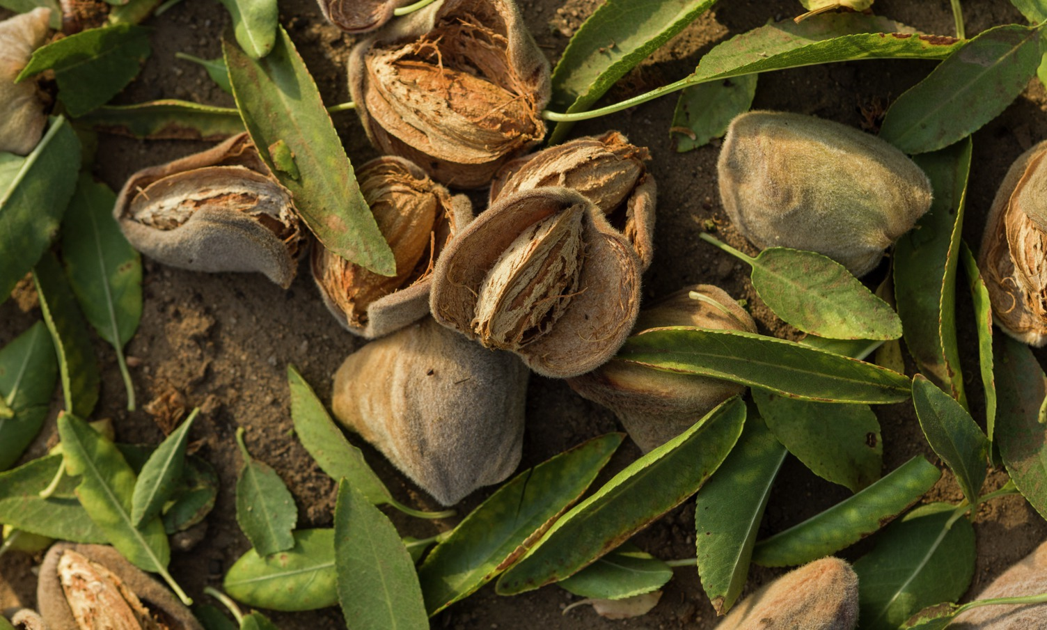 almond hulls and shells coproducts